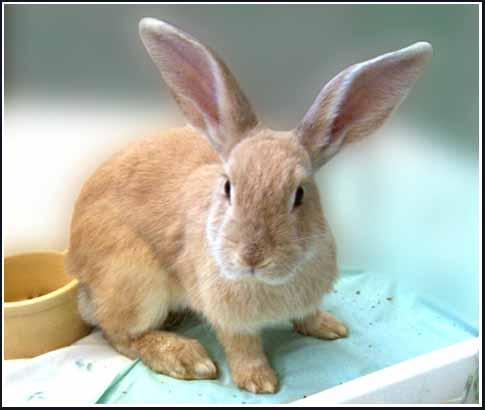 palomino rabbits - photo #20