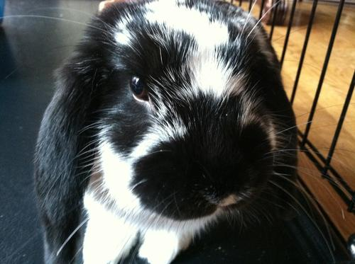 Oreo S Bunny Profile On Bunspace Com