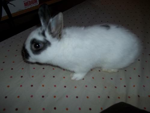 English Spot Dwarf Rabbit